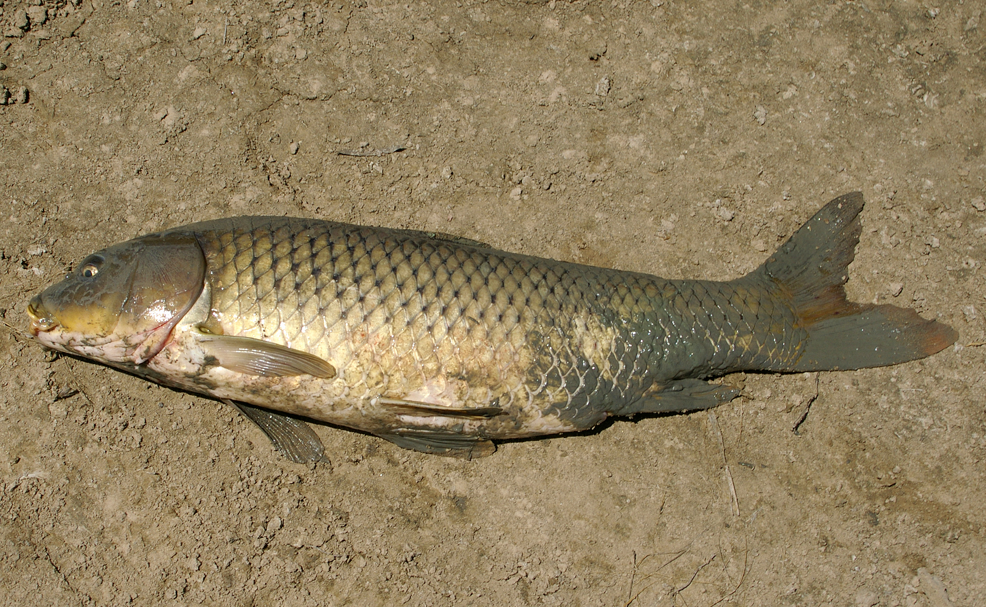file cyprinus carpio wikimedia commons