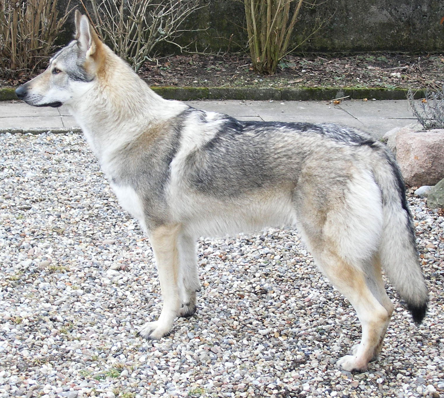 wolf hybrid - most aggressive dogs in the world
