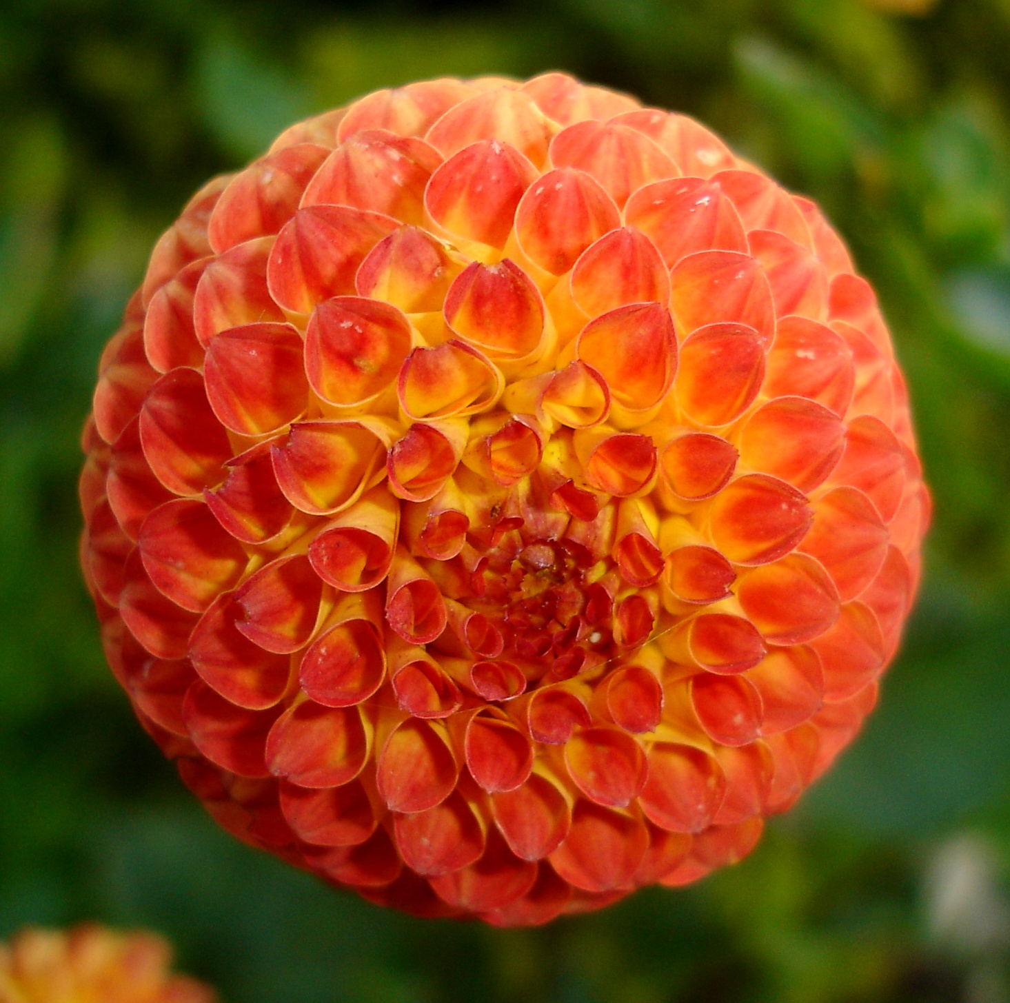 212 The Dahlia Flower Wallpapers