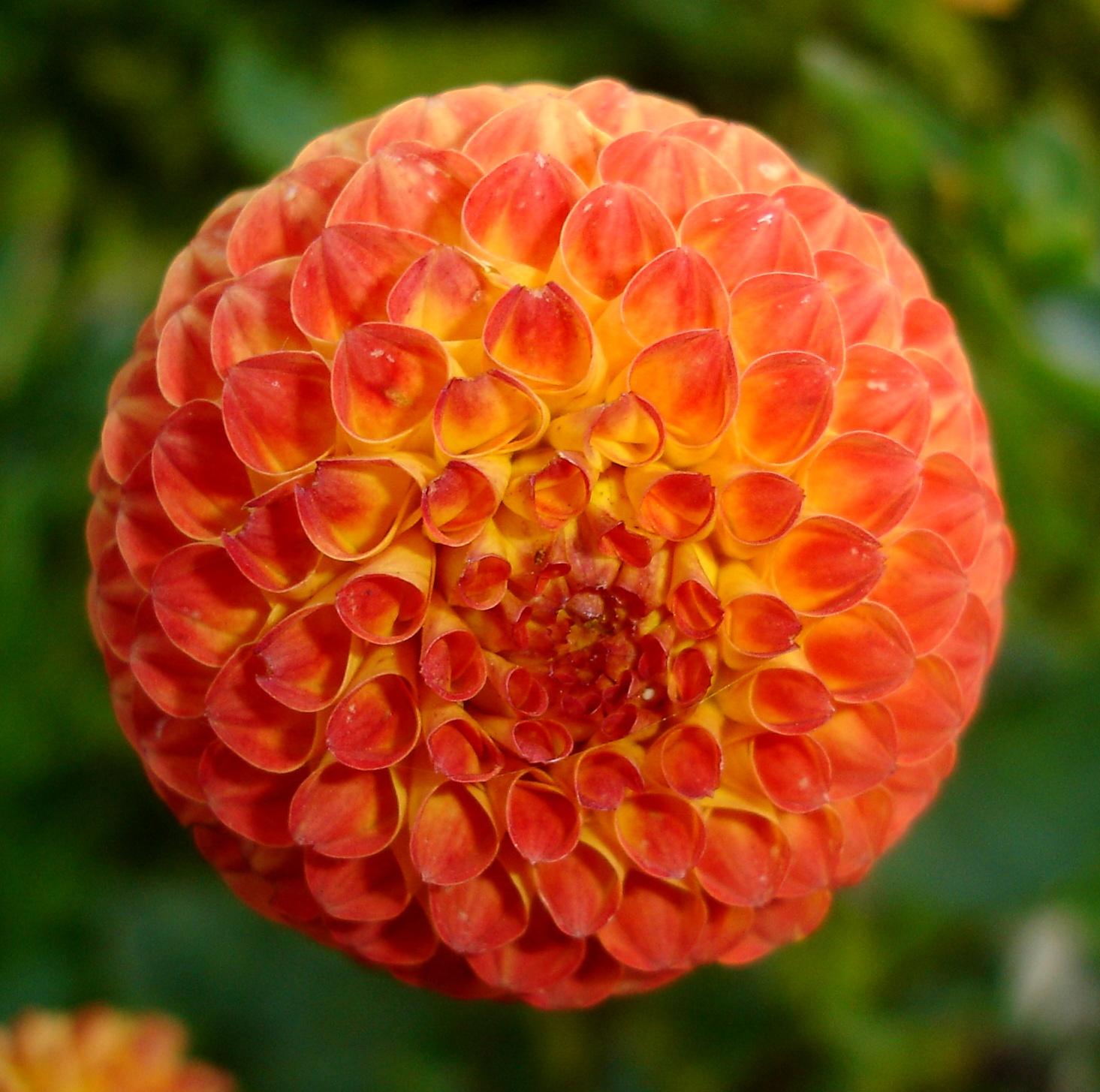 Садовый каталог hollandbulbru  голландские луковичные