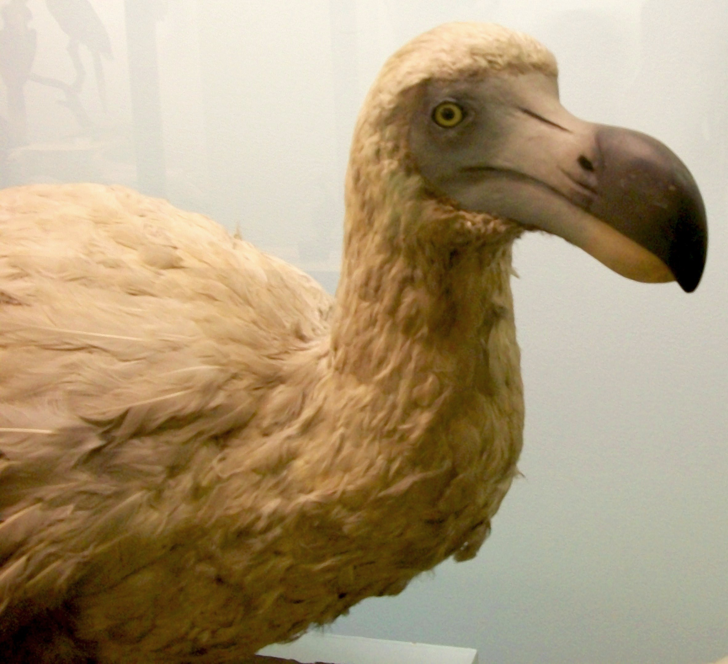File:Dodo Natural History Museum London England 03.jpg ...