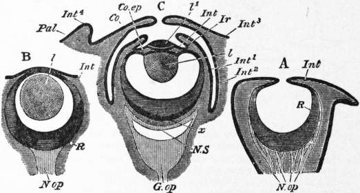 EB1911 Cephalopoda Fig. 14.—Diagrams of Sections of the Eyes of Mollusca.jpg