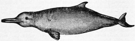 EB1911 Cetacea - Fig. 7.—River Plate Dolphin (Stenodelphis blainvillei).jpg