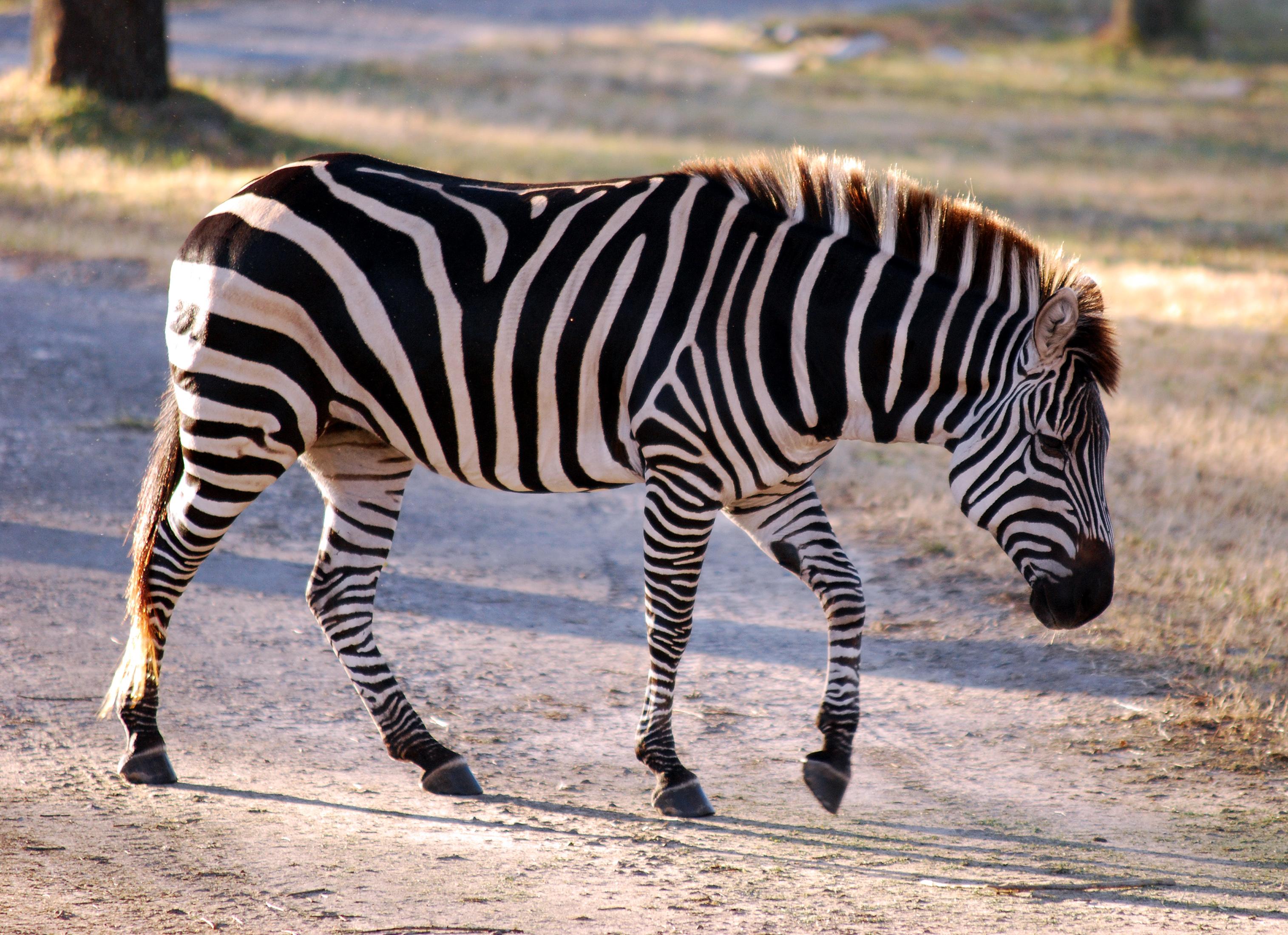 Equus quagga Burchells Zebra Common Zebra Painted
