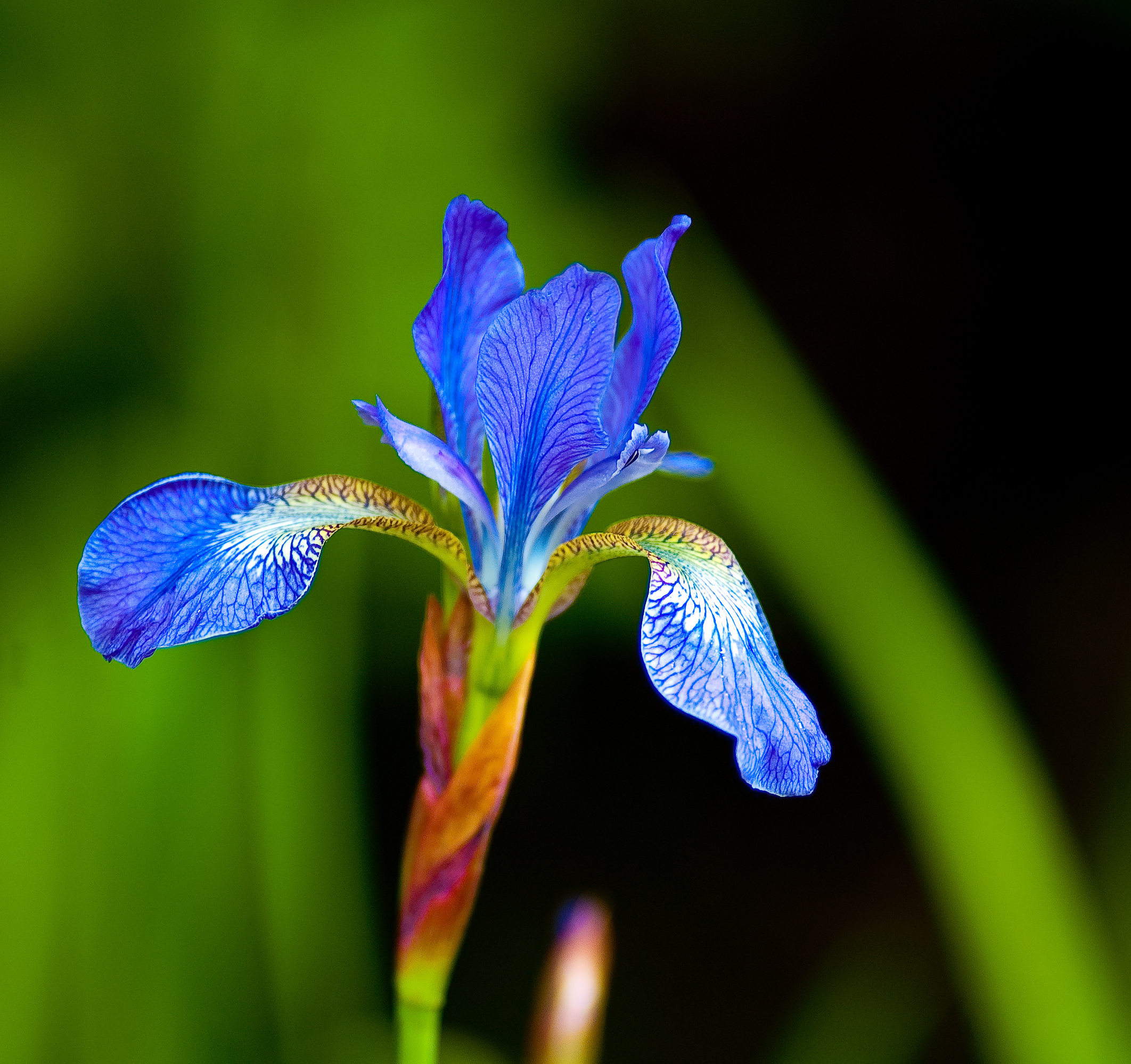 Fileflag iris flowerg wikimedia commons fileflag iris flowerg dhlflorist Image collections