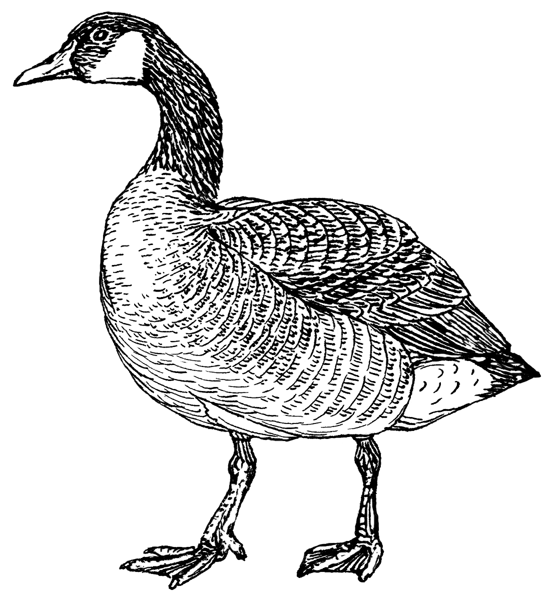 hawaiian goose coloring pages - photo#10