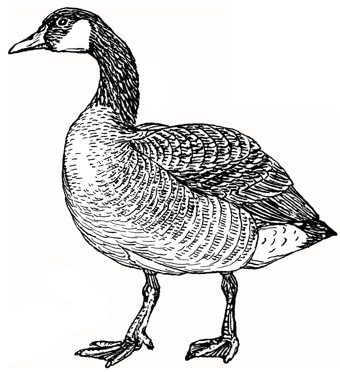canada goose canadian site