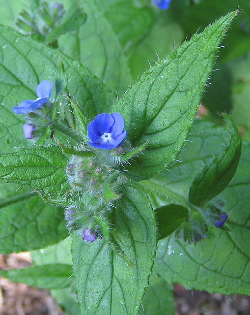 File:Green name, blue flowers - geograph.org.uk - 1338741 ...