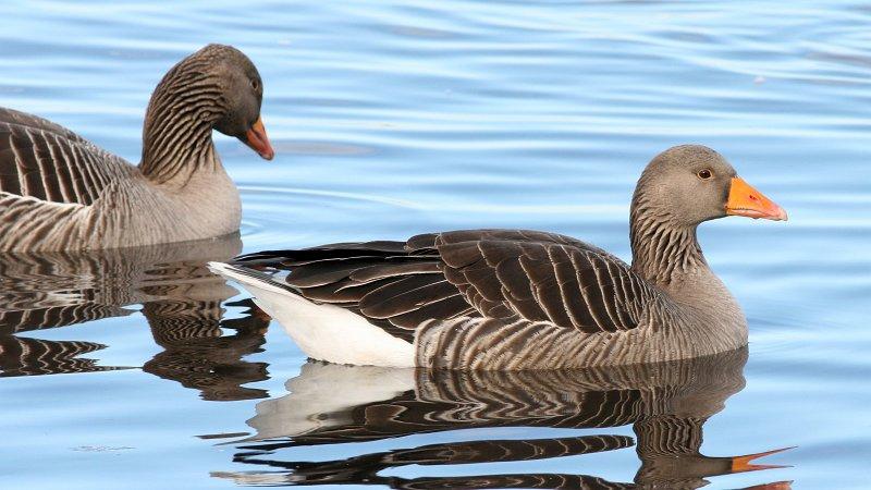 File:Greylag Goose (Anser anser) (5).jpg