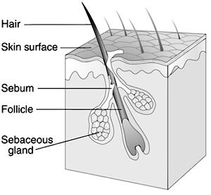 Ficheiro:HairFollicle.jpg