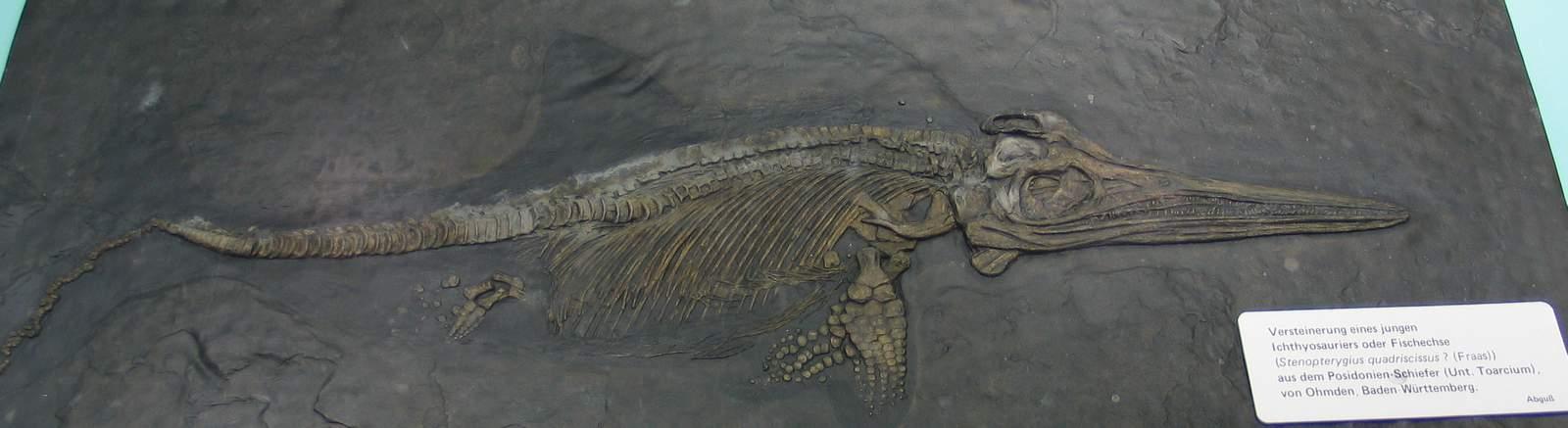 ichthyosaur fossil - photo #9