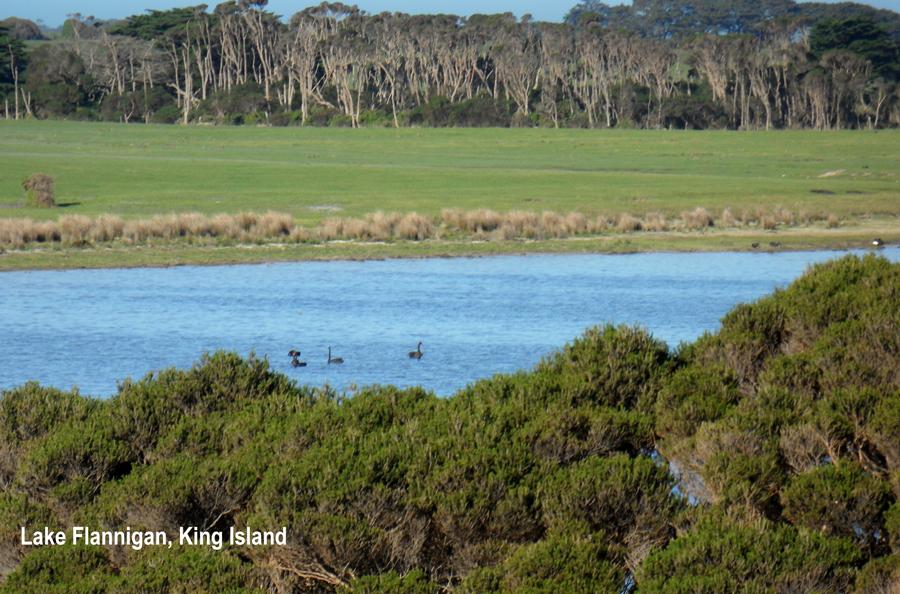 black swans cygnus atratus on lake flannigan seen from the western dunes