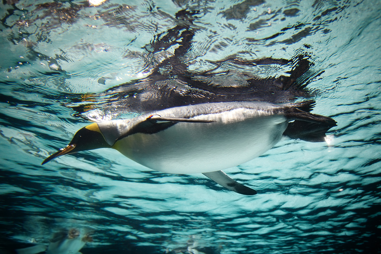 File:King Penguin in water Feb09.jpg - Wikimedia Commons
