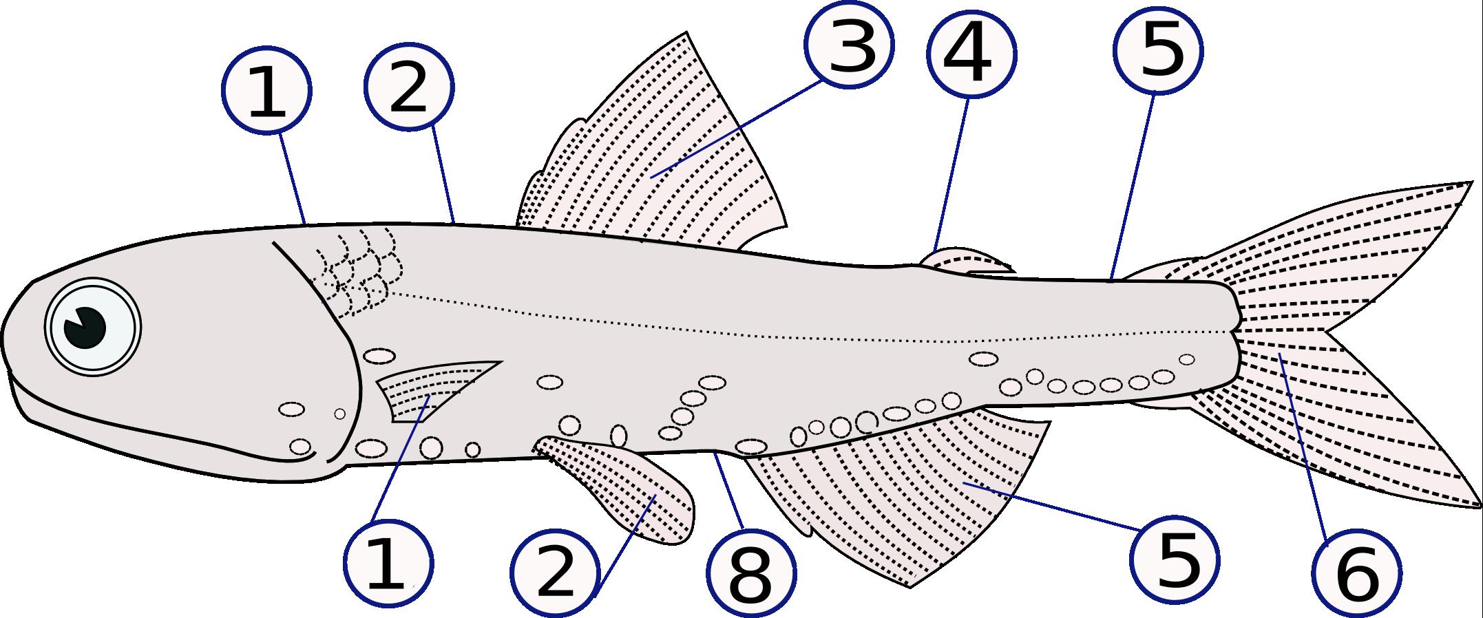 Fish Fin Wikipedia