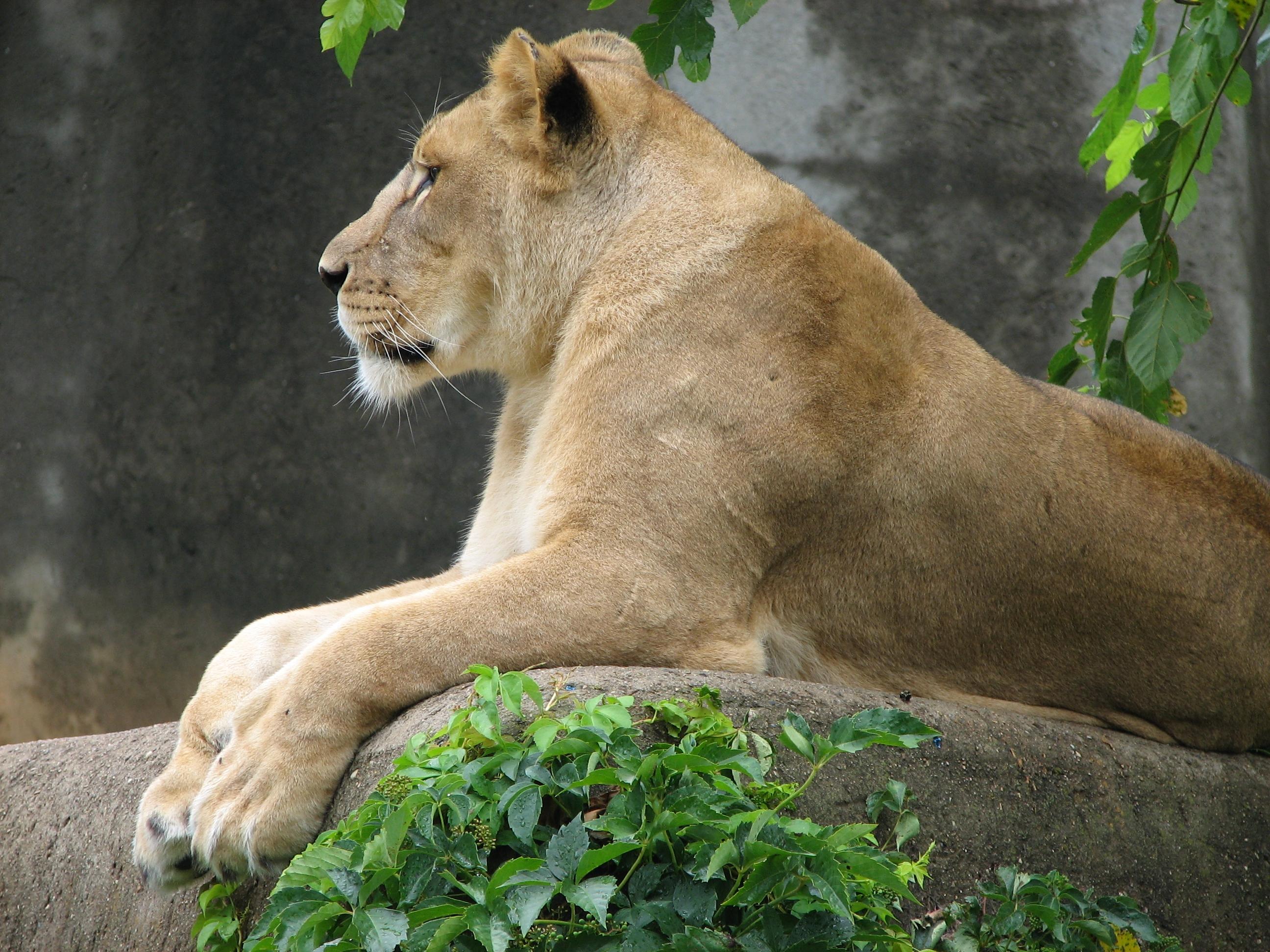 Pornostar Lioness