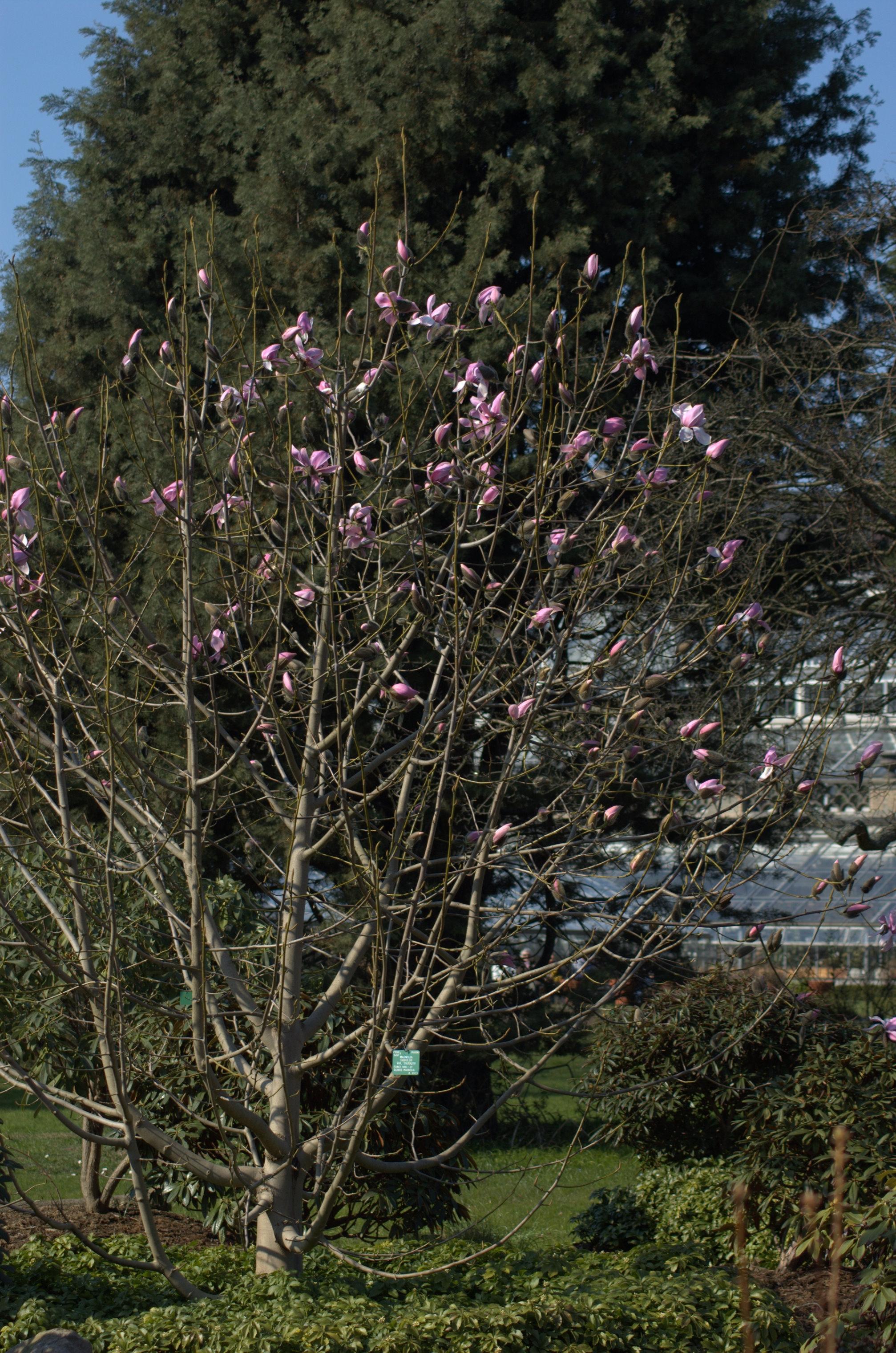 Filemagnolia Leonard Messel Whole Tree In Copenhagen Botanical