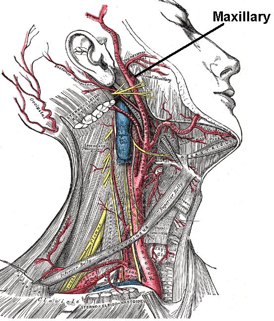 Maxillary artery - Wikiwand