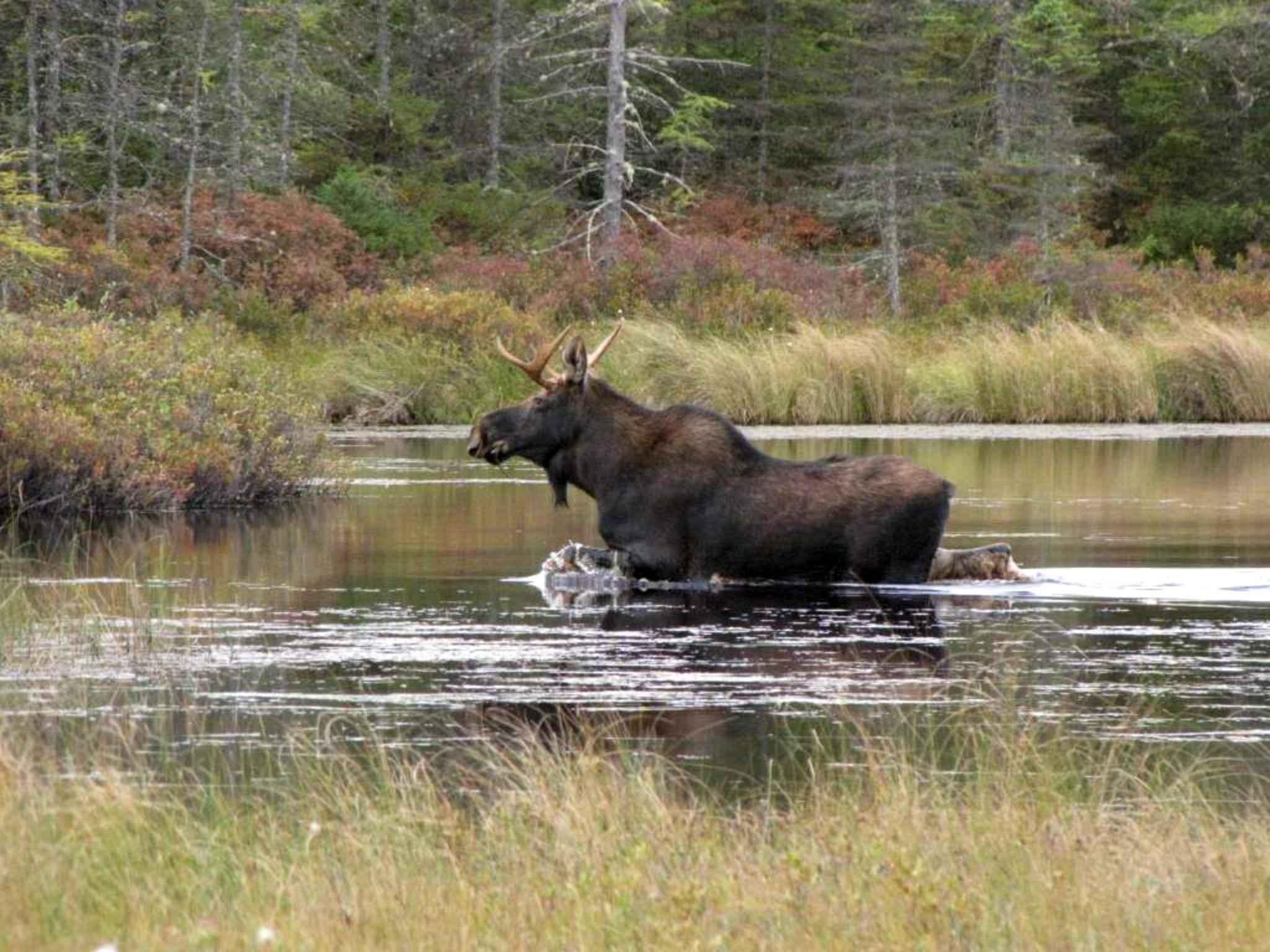 Bestandmoose In River Animal Alces Americanusjpg Wikipedia