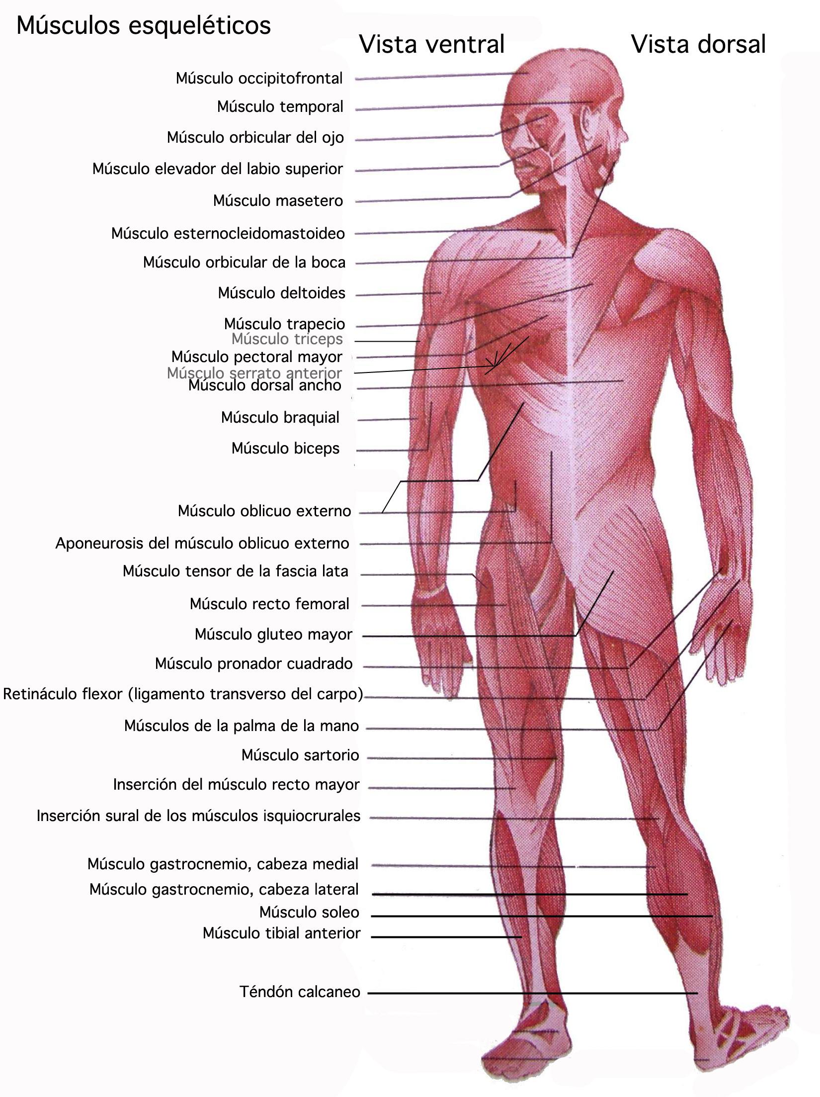Nombre de todas las articulaciones del cuerpo humano wikipedia ...