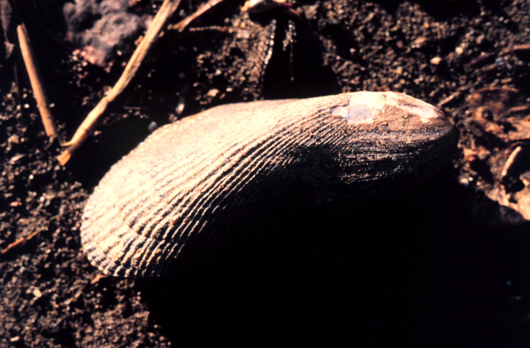 Link to ribbed mussel photo on Wikimedia Commons