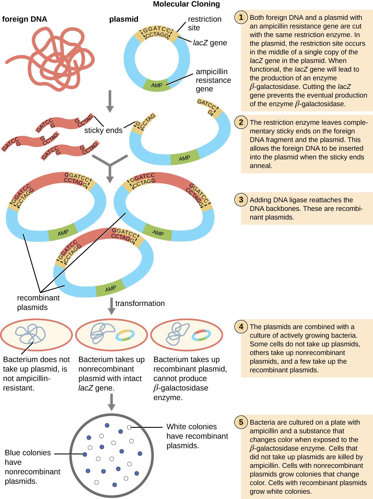 OSC Microbio 12 01 MolCloning