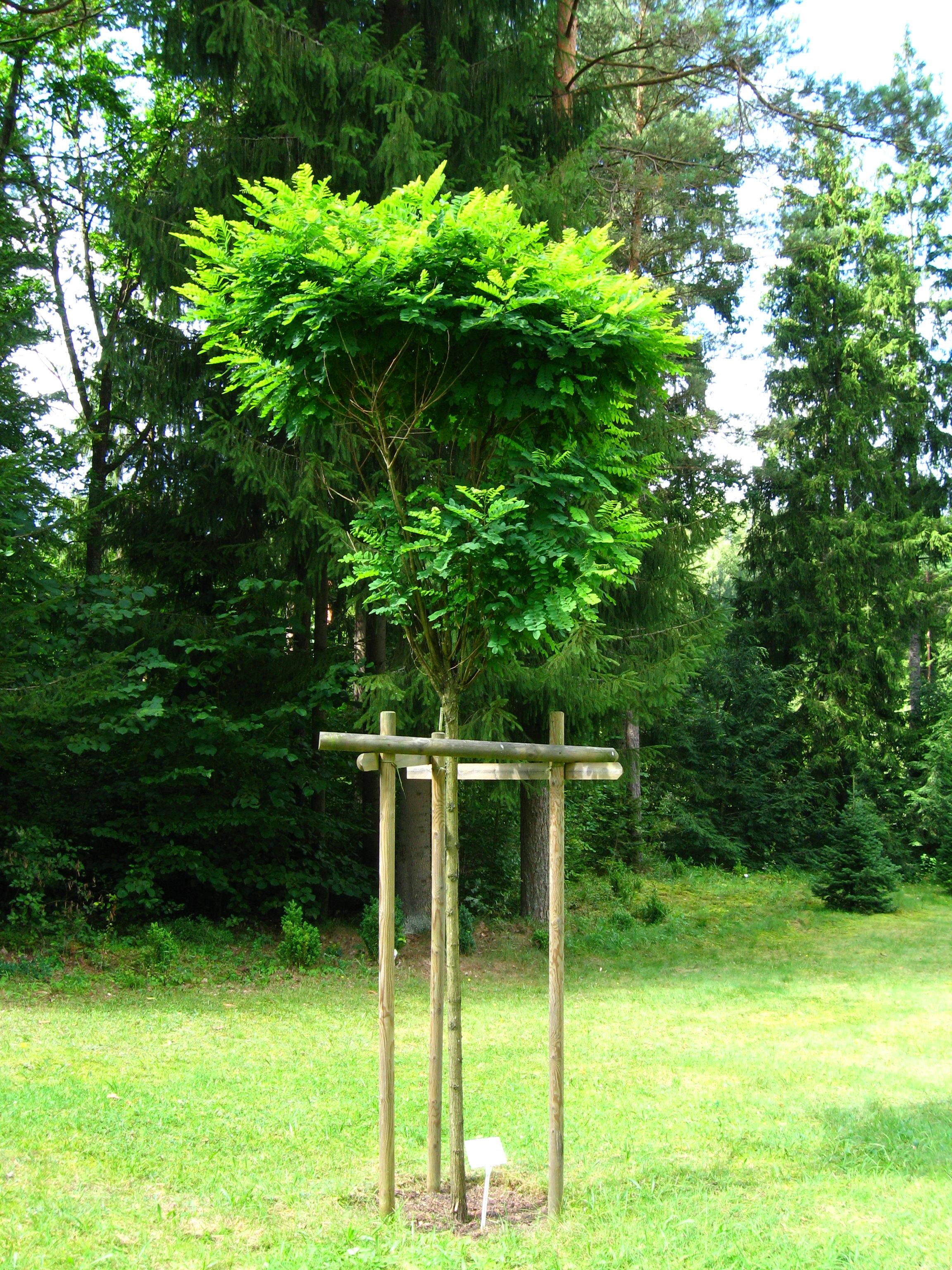 file podlaskie suprasl kopna gora arboretum robinia pseudoacacia 39 umbraculifera 39 plant. Black Bedroom Furniture Sets. Home Design Ideas