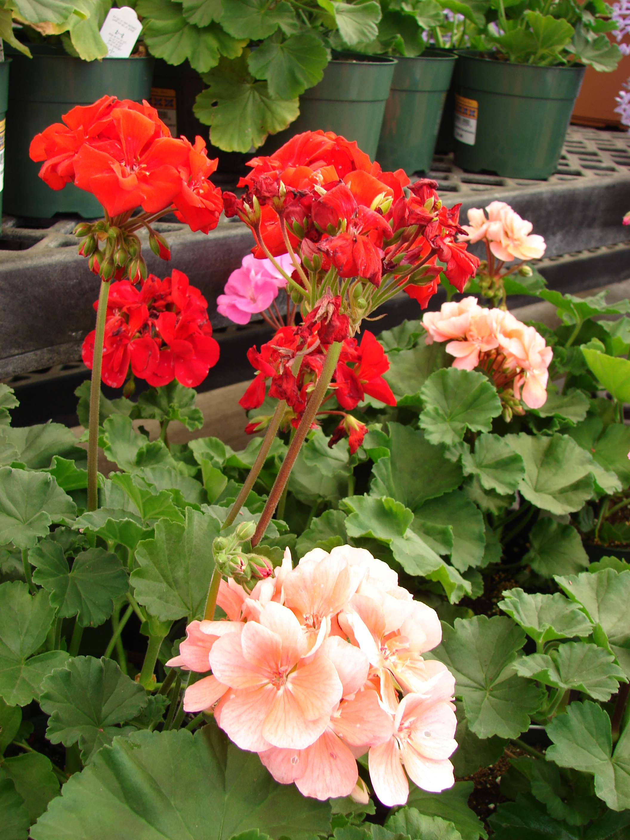 pelargonium x hortorum wwwimgkidcom the image kid