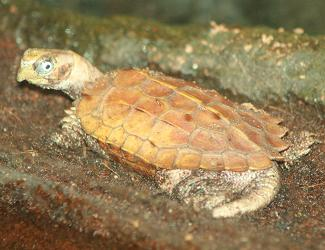 Small Pet Turtles: Black-Breasted Leaf Turtle Care That Reptile Blog