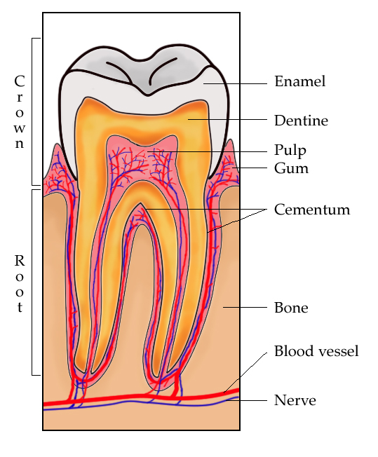 Hasil gambar untuk dentin gigi