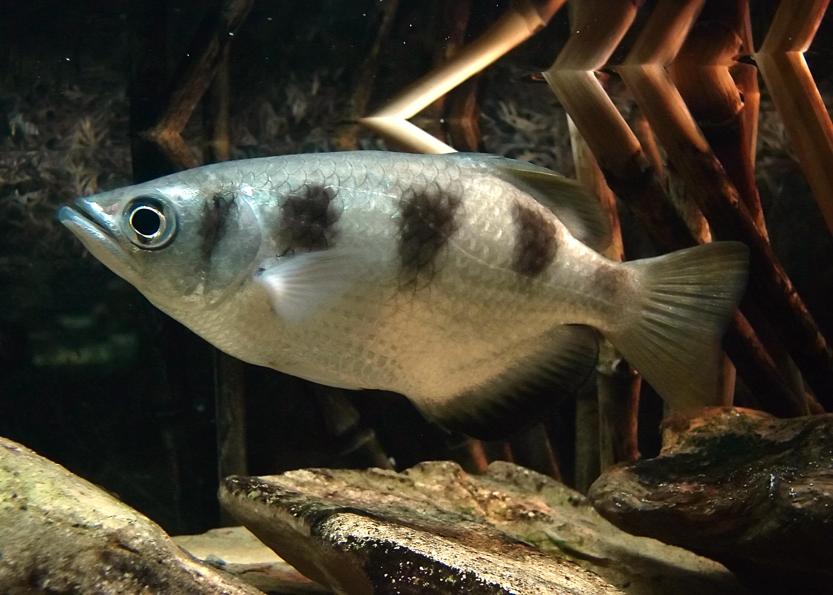 Archerfish - Wikipedia