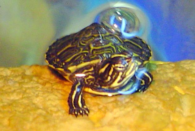 File trachemys scripta scripta wikimedia for Laghetti tartarughe acquatiche
