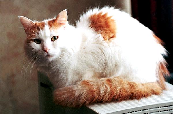 van turco Cats