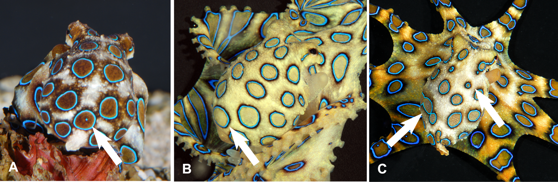 Variable ring patterns on mantles of the blue-ringed octopus Hapalochlaena lunulata.png