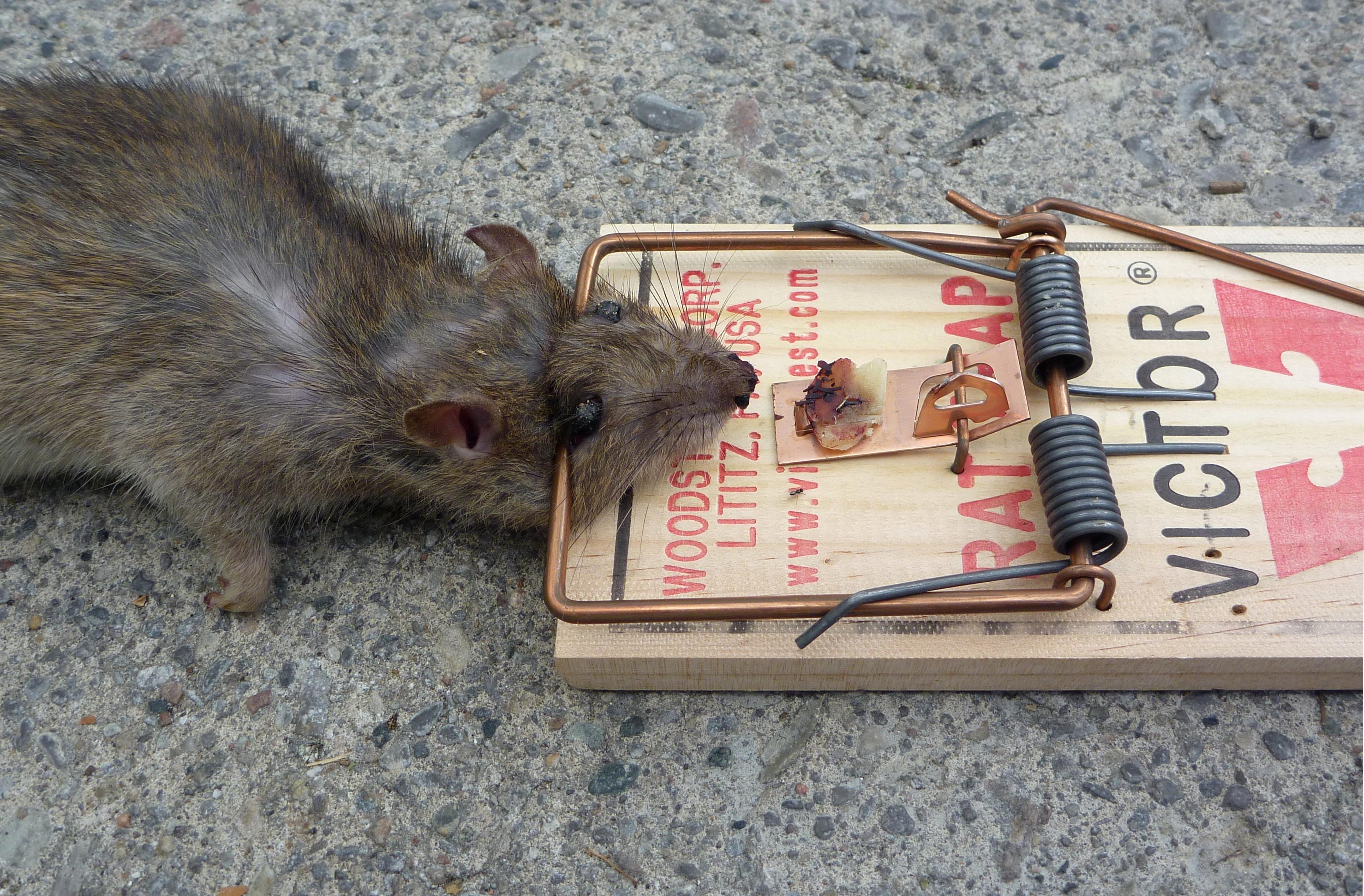 Как поймать крысу, сделать крысоловку своими руками из бутылки 74
