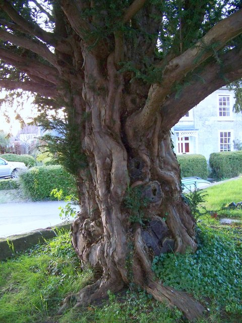 dating yew trees The magick of the yew in celtic ogham, faery and spiritual traditions history, medicine and folk lore ancient yew trees.