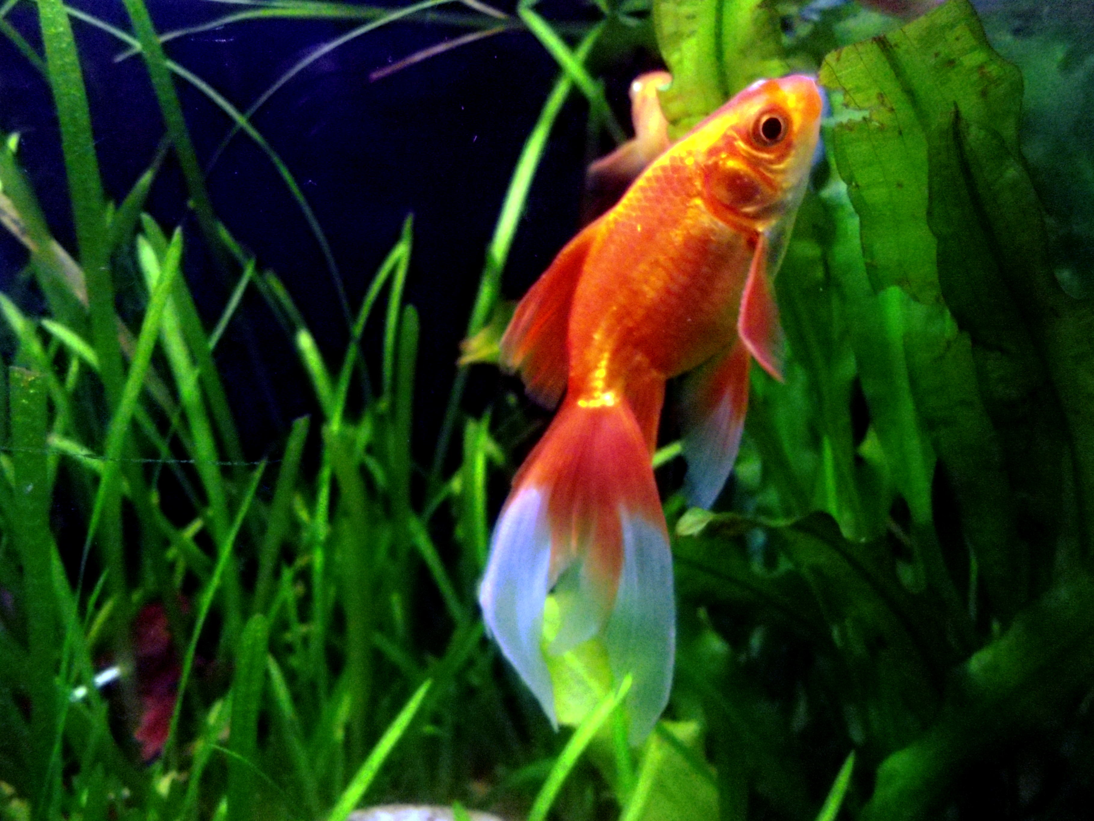 how to aspirate a swim bladder in fish