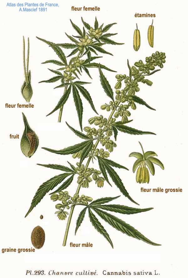 an introduction to the history of the usage of cannabis sativa Interestingly, while marijuana use has been an urgent topic of conversation for  over a  and the marijuana plant had been widely cultivated for the hemp fiber  used in  that introduction, in turn, generated a reaction in the us, tinged  perhaps.