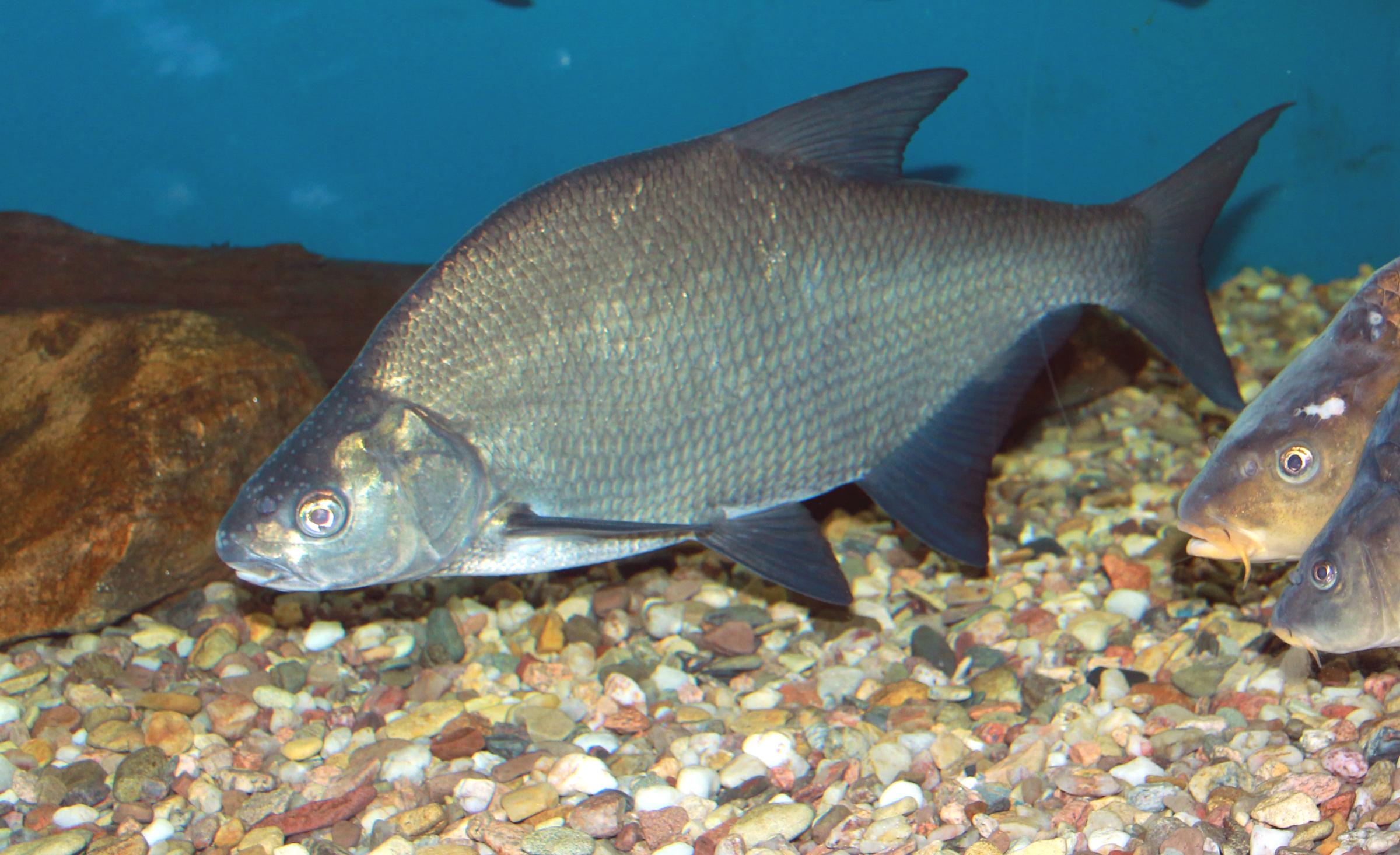 Freshwater fish bream - Fish Photo