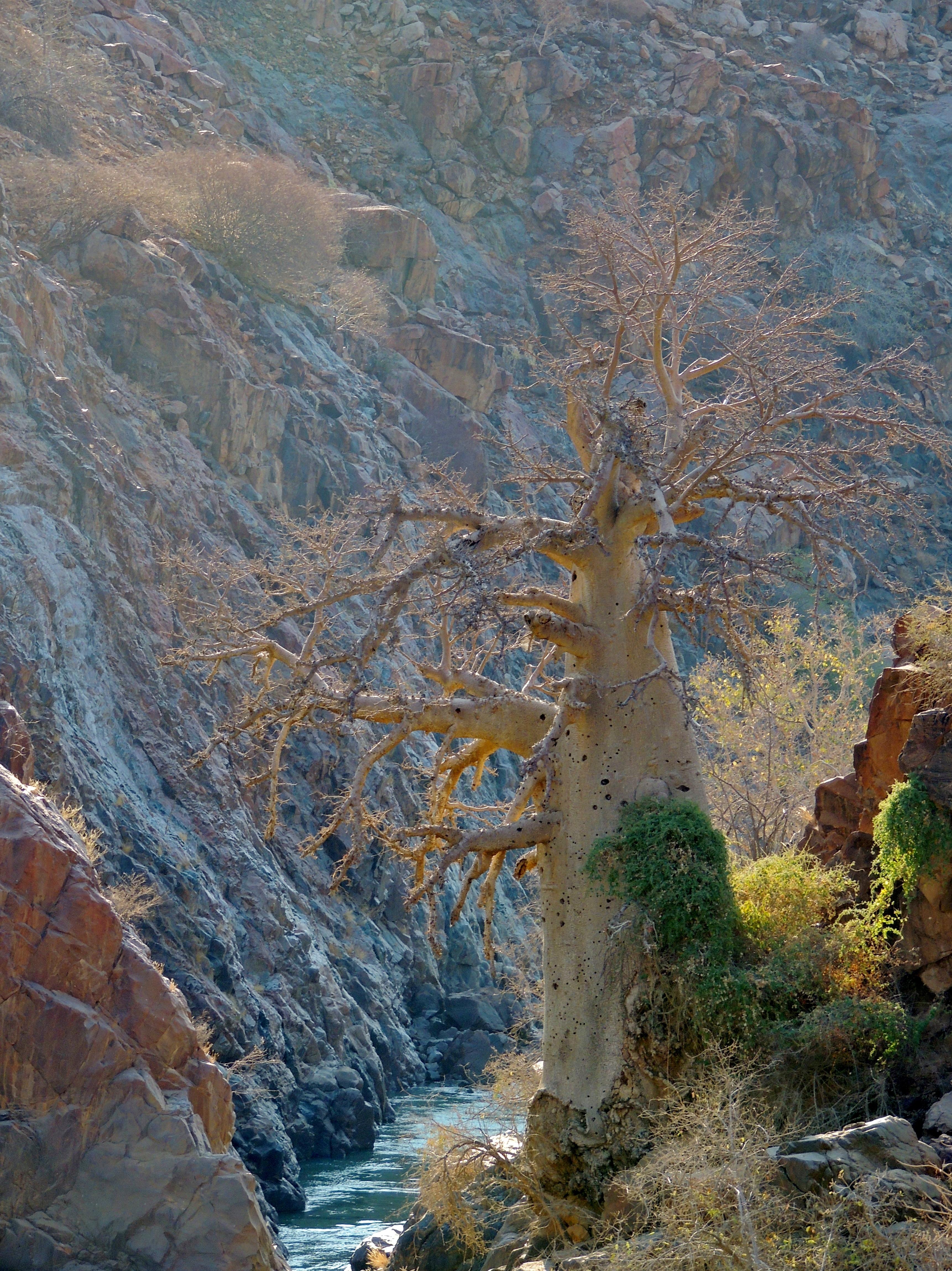 Adansonia digitata 3 - African baobab.JPG