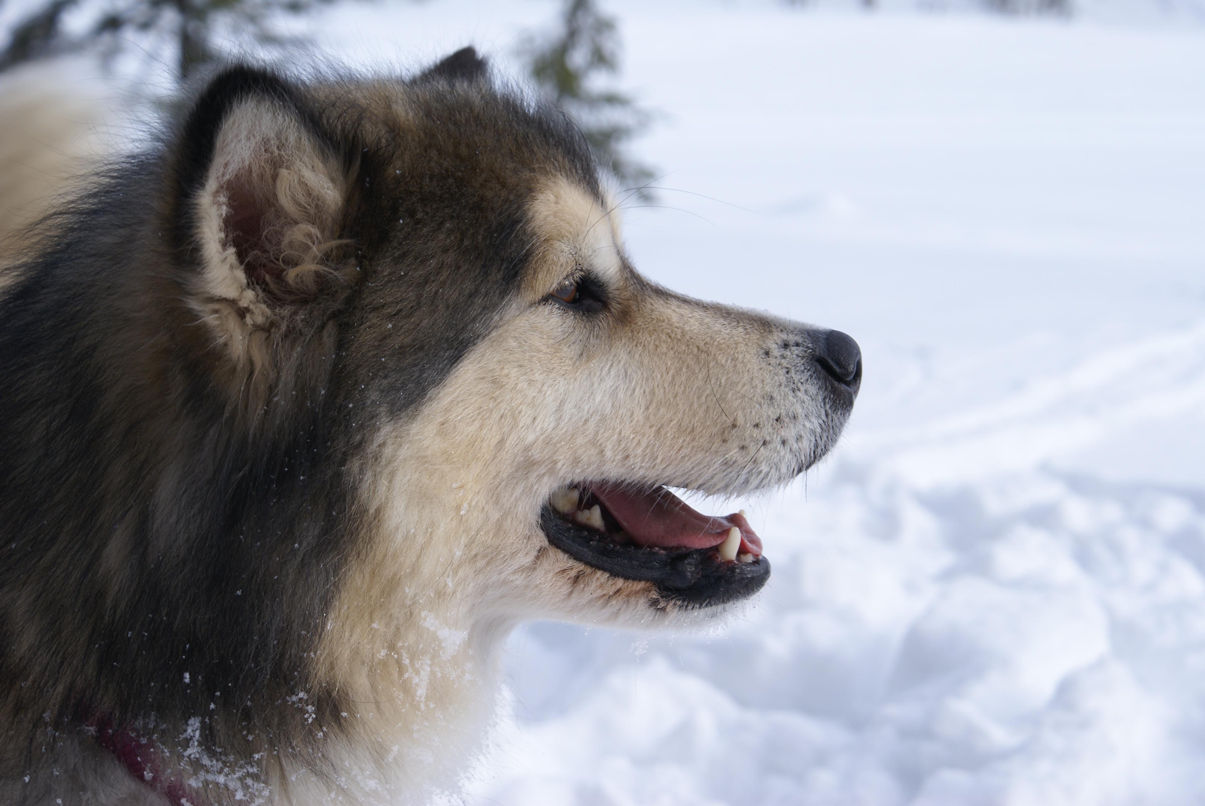 File:Alaskan Malamute Inu 1.jpg  Wikimedia Commons