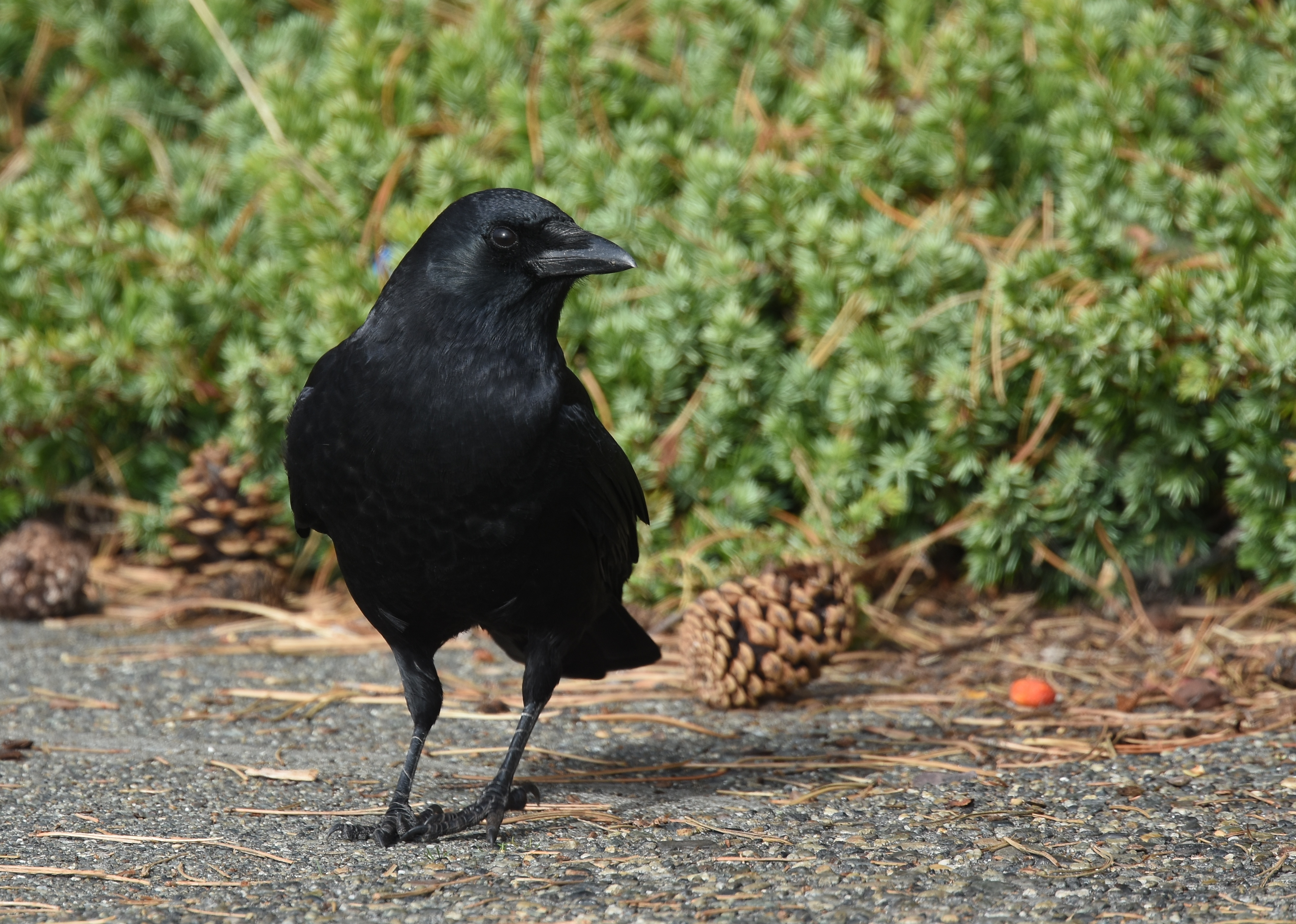 American crow on pavement in front of greenery