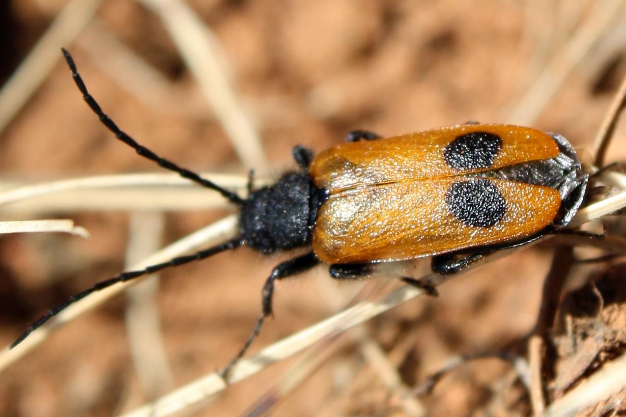 Apalus_bimaculatus2.jpg