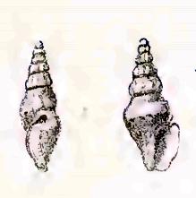 <i>Austrodrillia</i> genus of molluscs