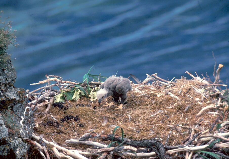 eagle nest milfs dating site Legal protection of eagles the bald eagle  but how do you tell which nest belongs to a bald eagle,  mature old-growth.