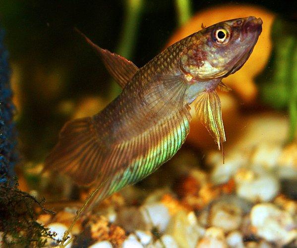 Einzelne arten for Kampffische arten