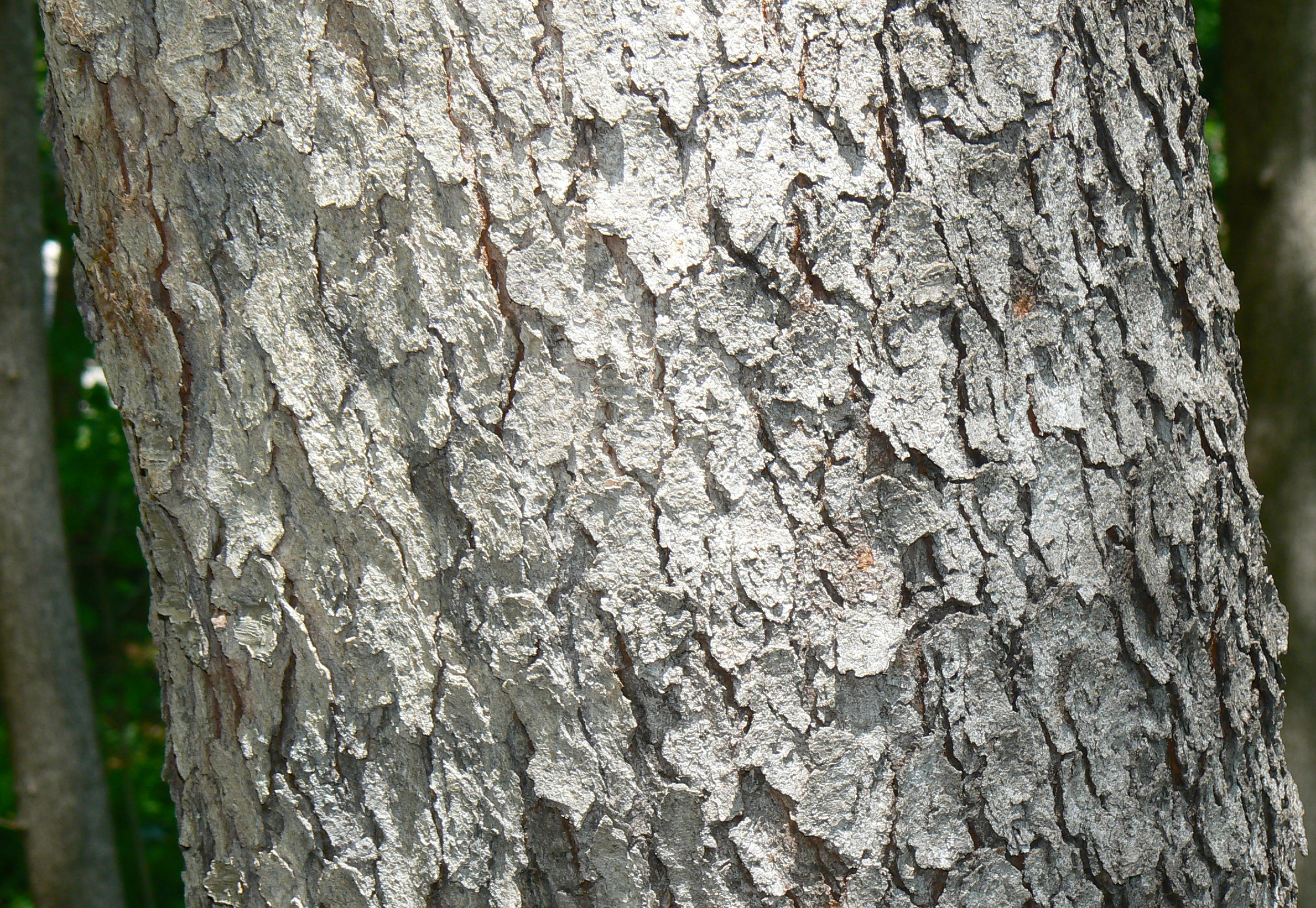 File Black Cherry Prunus Serotina Bark Detail Jpg