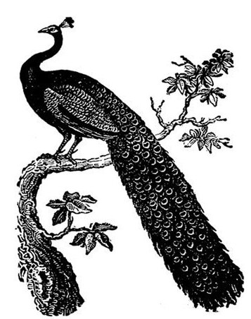 File Black And White Peacock Jpg Wikimedia Commons