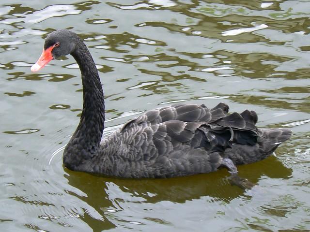 File:Black swan, Coate Water, Swindon - geograph.org.uk - 986893.jpg