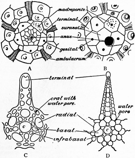 free coloring pages of echinoderm