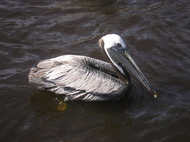 http://upload.wikimedia.org/wikipedia/commons/d/d7/Brown-Pelican-Ponce-Inlet-FL-2.jpg